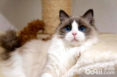 怎么分辨布偶猫的公母?
