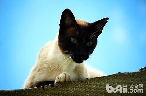 有白色爪子的暹罗猫吗?