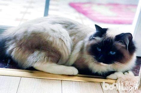 有长毛的暹罗猫吗?