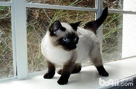 暹罗猫为什么会变色?
