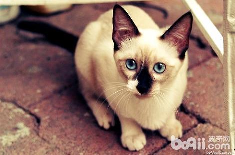 暹罗猫脸上的毛发变的稀少?