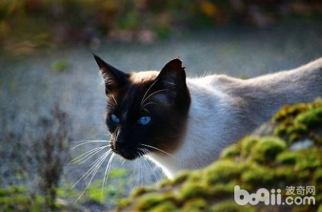 暹罗猫9斤左右算瘦吗?