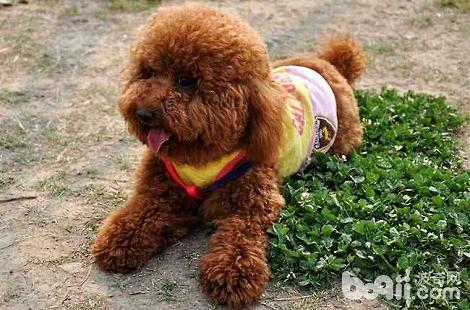 养贵宾犬需要办狗证吗?