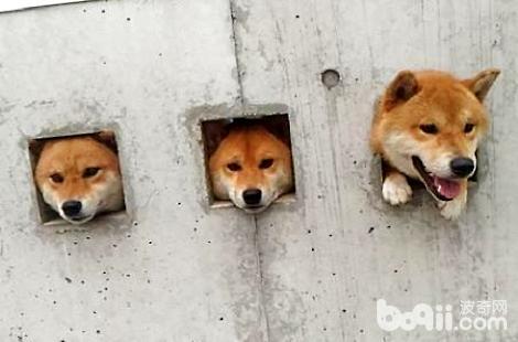 柴犬能养来看门吗?