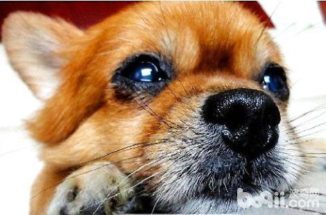 博美犬能不能吃米饭?