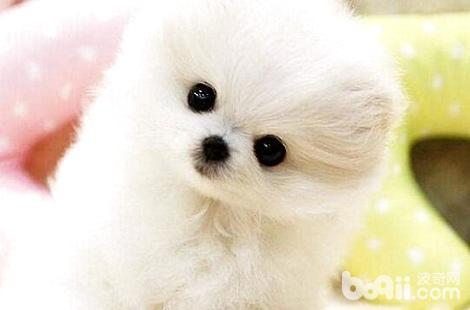 博美犬喝酸奶居然有这么多的好处?
