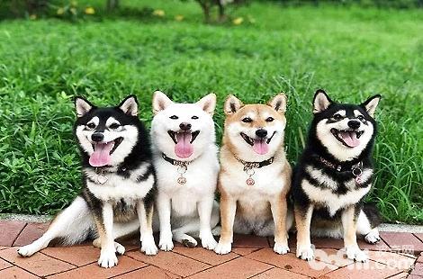 有人居然用土狗当柴犬去出售?
