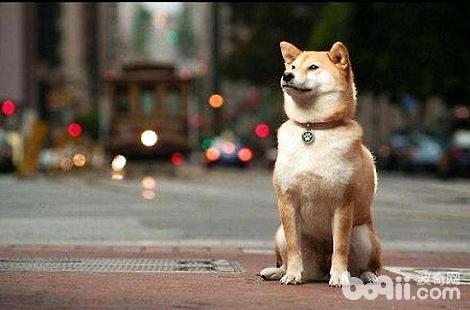 为什么家里养的柴犬不摇尾巴?