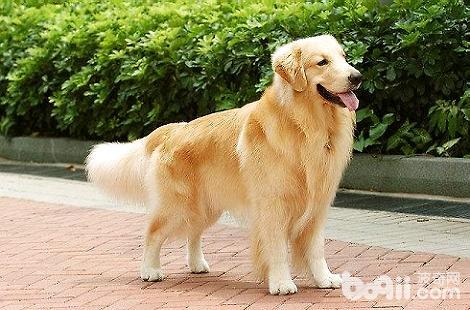 金毛犬的脚垫颜色变了是什么情况?