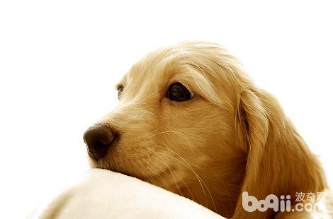金毛犬的鼻子上毛秃了是舔的吗?