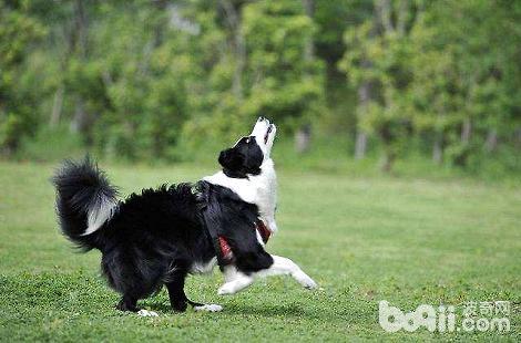 训练边境牧羊犬叼飞盘很困难吗?