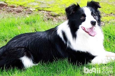边境牧羊犬经常到处大小便要怎么训练?