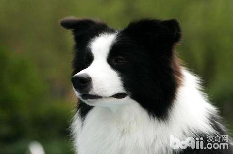 边境牧羊犬有鼻涕是感冒了吗?