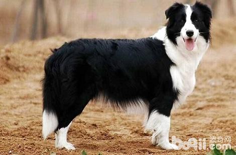 边境牧羊犬的脚垫发烫是怎么了?
