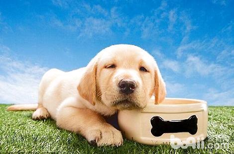 怎么样才能选到好的金毛犬?
