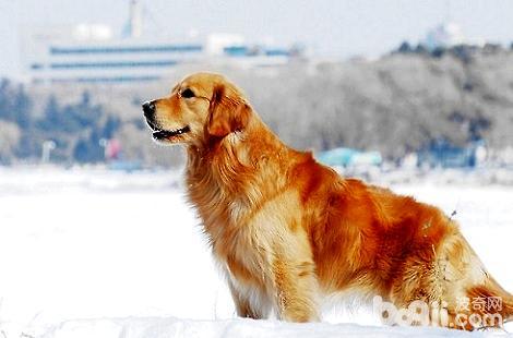大家养的金毛犬有长毛的吗?