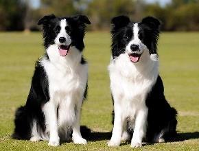 世界犬类智商排名,排名前三的分别是哪些犬种-轻博客