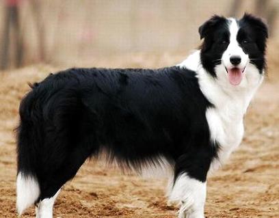 哪里有卖边境牧羊犬?边境牧羊犬多少钱能买到?