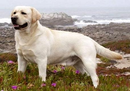 """""""拉布拉多犬多少钱一只,成犬和幼犬的价格一样吗"""