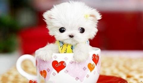茶杯狗最便宜多少钱