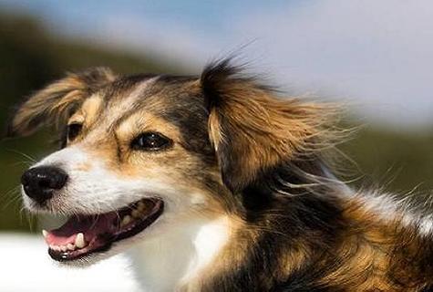 今日课堂——如何训练卡斯罗幼犬护卫?