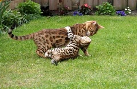 如何训练孟加拉豹猫,谈一谈你的看法呢?
