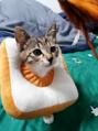 跳蚤大作戰||貓咪身上有跳蚤怎么辦?