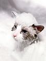 貓身上有跳蚤怎么辦?這樣做等著給跳蚤收尸