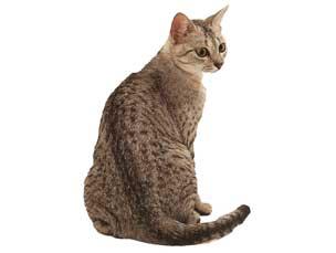埃及猫分享展示