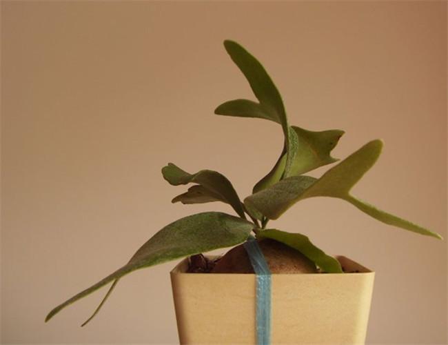 为附生性观赏蕨,由于鹿角蕨的外形和梅花鹿角很像,故此命名.