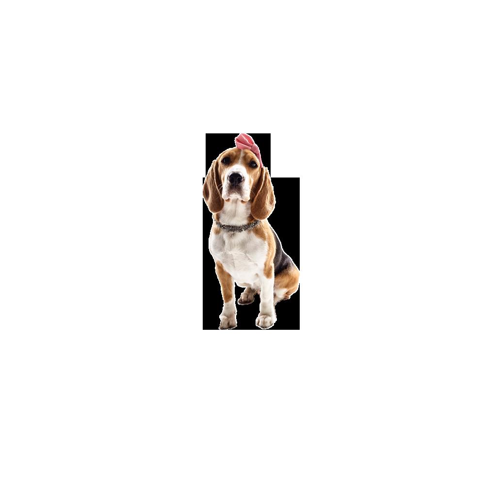 英国可卡犬