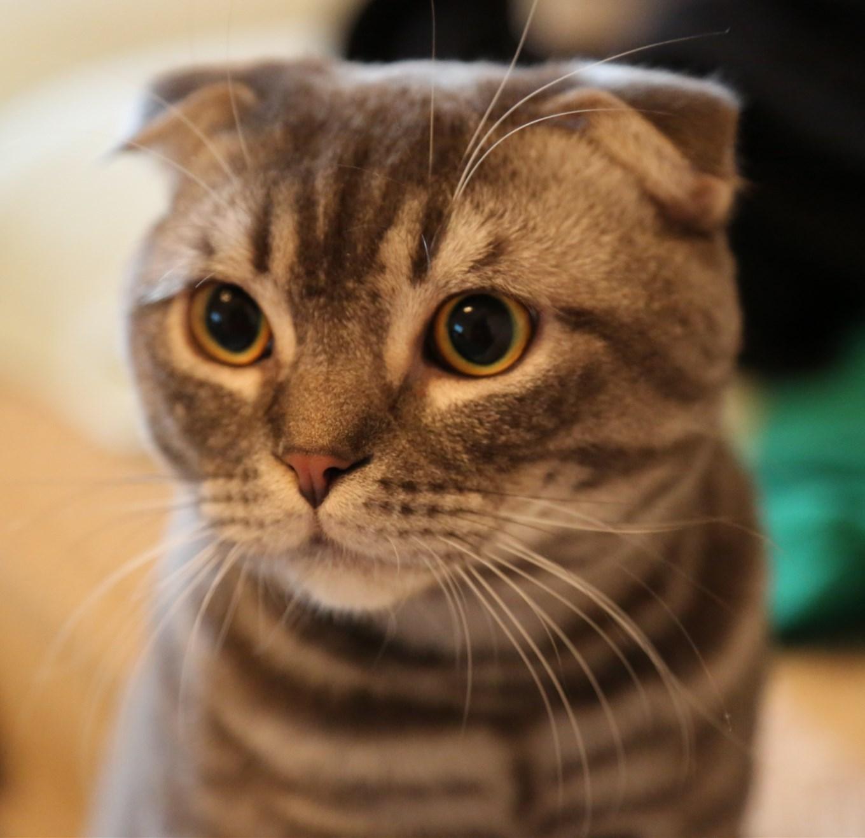 蘇格蘭折耳貓