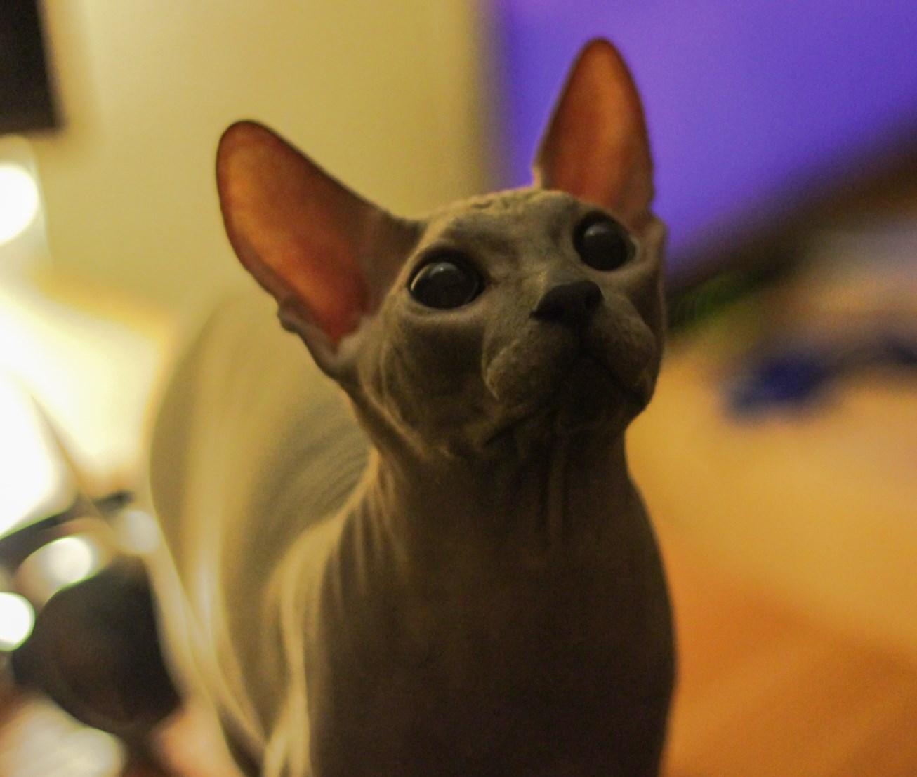 斯芬克斯貓