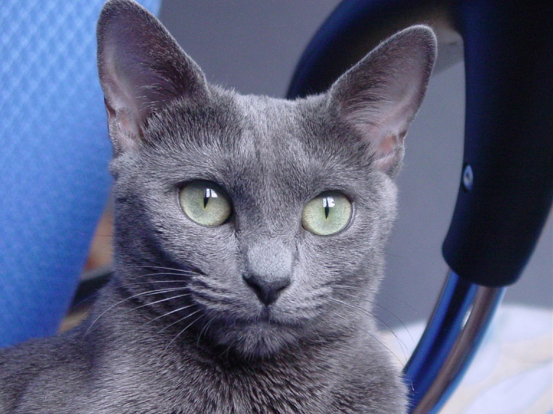 俄羅斯藍貓
