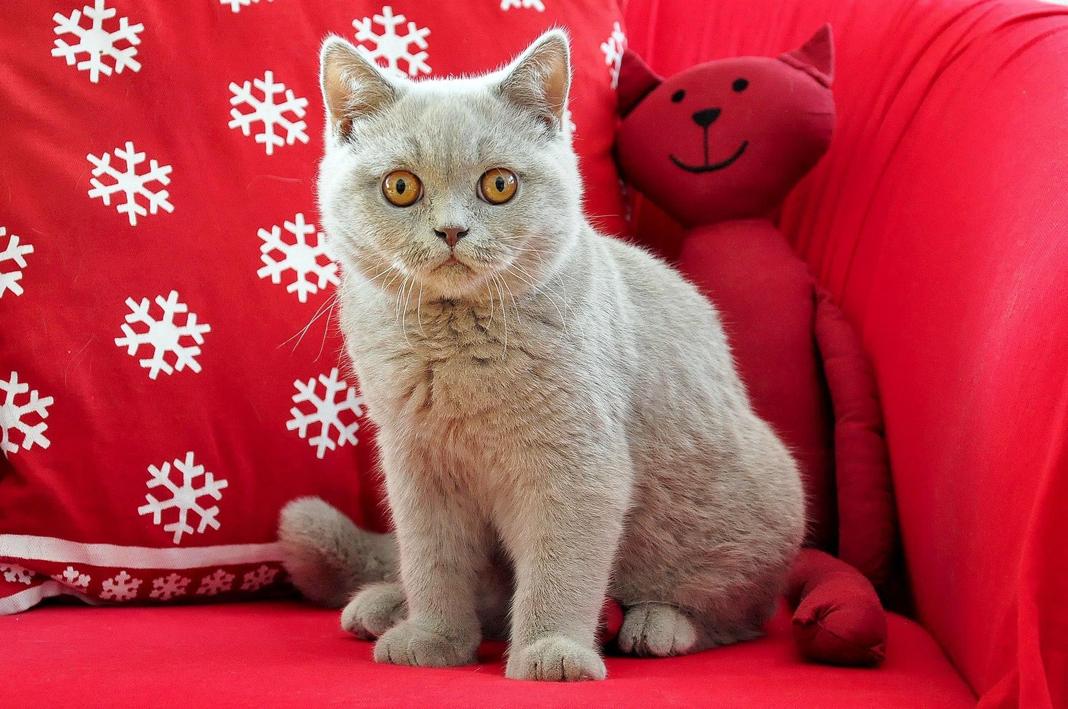 英國短毛貓