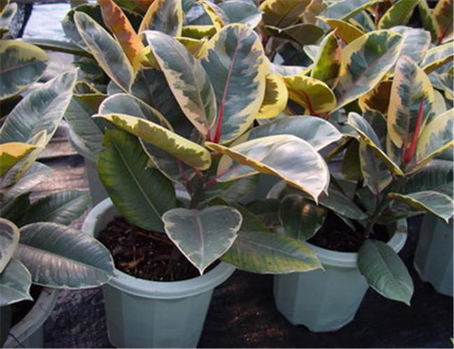 别称:印度橡皮树,印度榕大叶青