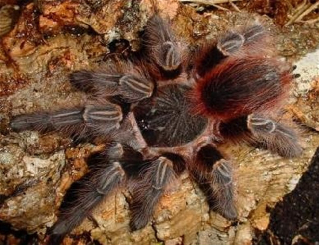 玻利维亚红尾