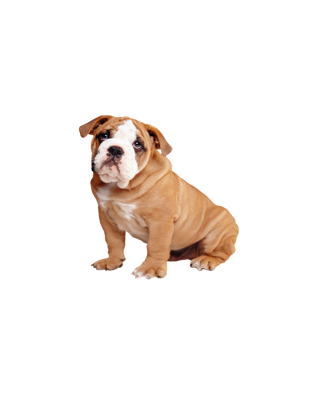 英國斗牛犬
