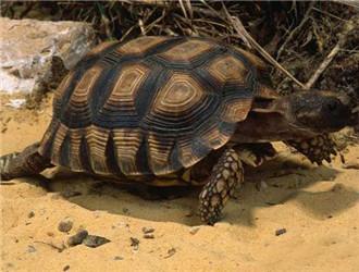 阿根廷象龟