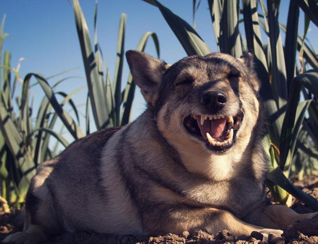 瑞典柯基犬