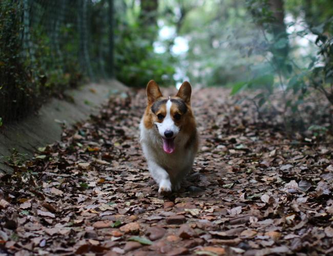 威尔士柯基犬