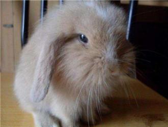 宾尼垂耳兔
