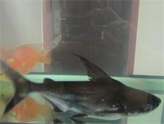 成吉思汗魚
