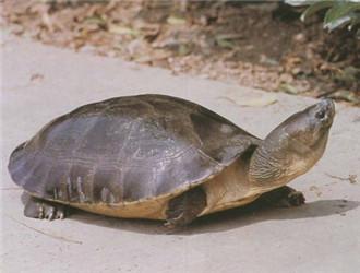 马来西亚巨龟