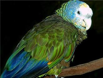 圣文生亚马逊鹦鹉