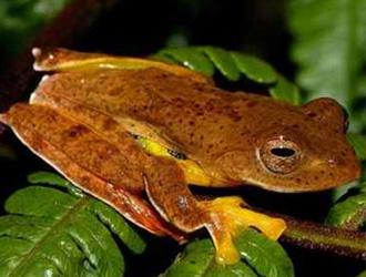 棕叶掌树蛙