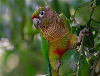 绿颊锥尾鹦鹉