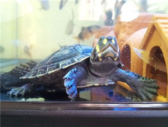 黃頭側頸龜