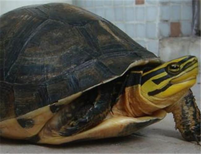 安布闭壳龟
