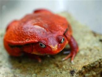 安東吉利紅蛙